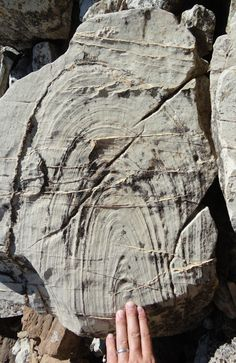 Fold found in a specimen of float of the Purcell (Belt) Supergroup limestone in Waterton Lakes National Park, Alberta, Canada.