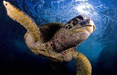 amazing ocean wildlife by mike roberts Water Animals, Challenge Me, Under The Sea, Wildlife, Sea Turtles, D1, Amazing, Nature, Big Island