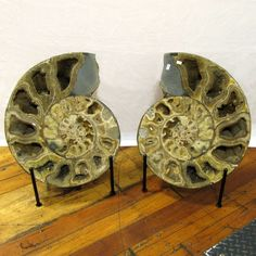 Enter the Earth, Inc - XXL Ammonite Pair, 21 inch, EAmm489, $7,840.00 (http://www.entertheearth.net/xxl-ammonite-pair-21-inch-eamm489/)