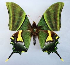 Image result for cyrestis cocles butterfly images