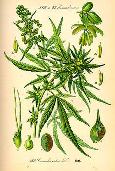 Cannabis Sativa Botanical Illustration 3624 Art Print Poster Marijuana POT - Botanical Art - Ideas of Botanical Art Botanical Drawings, Botanical Illustration, Botanical Prints, Illustration Art, Medical Cannabis, Cannabis Oil, Vintage Prints, Painting Art, Gardens