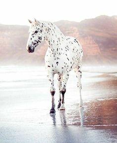 Pretty Animals, Cute Baby Animals, Animals Beautiful, Animals And Pets, Cute Horses, Pretty Horses, Horse Love, Dressage Horses, Appaloosa Horses