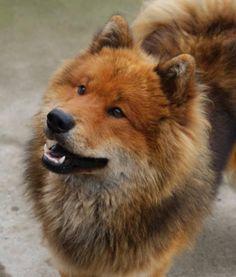 Eurasier dog photo | Gallery » Eurakees