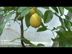 Как вырастить лимонное дерево в домашних условиях. Оказывается, это так просто! — Кактус