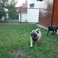 My buddy Bobo almost got me 😂😂😂  #mauricethepug #playtime #slowmotion #slowmo #happydogs #happy #summer #bestfriend #friendsforever #fun #joy #pug #schnauzer #mops #dog #dogs