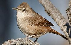 """House Wren  Nest: Six or seven speckled-white eggs in a nest of twigs. Male builds multiple """"dummy"""" nests, and then female chooses one.   Song: Varies; rapid rolling trill that rises and then descends into a bubbling song.   Habitat: Backyards, parks and open woods.  Diet: Insects.   Backyard Favorites: Birdhouses with 1-1/8-inch entrance holes."""
