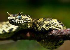 Exotic Venom,(Atheris ceratophora) Usambara eyelash viper