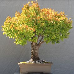 A Japanese Zelkova (Zelkova serrata) bonsai, Japanese Collection 16, on display at the National Bonsai & Penjing Museum at the United States National Arboretum. According to the tree's display placard, it has been in training since 1895. It was donated by Yoshibumi Itoigawa.