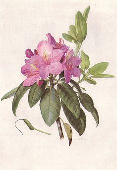 MOUNTAIN AMERICAN RHODODENDRON (Rhododendron maximum Michx.). Painting by Mary E. Eaton.
