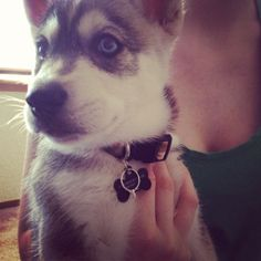 My husky puppy with my engagement ring on it. My girlfriend handed me the puppy, got down on one knee, and asked me to marry her. Sweetest thing ever and perfect kind of proposal for us as a couple :)
