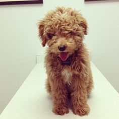 Goldendoodle Mini.......love this. Tiny or small