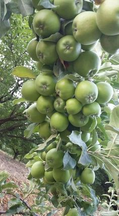 Fruits And Vegetables Pictures, Vegetable Pictures, Fruits Photos, Fresh Fruits And Vegetables, Fruit Plants, Fruit Garden, Fruit Trees, Trees To Plant, Good Morning Animation