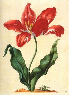 Tulip Hevelmann (508x700, 428Kb)