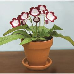 Cape Primrose 'Roulette Cherry' (Streptocarpus hybrid) a vigorous and easy to grow houseplant