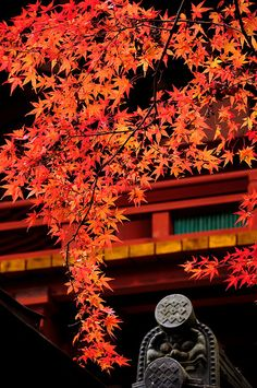 Japanese Maple, Muro-Ji temple, Nara, Japan