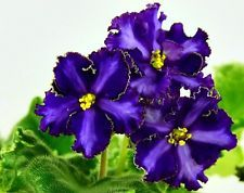 African Violet ~~  Chimera MT-Zvezda Kavkaza ~~ plant  Russian Variety!