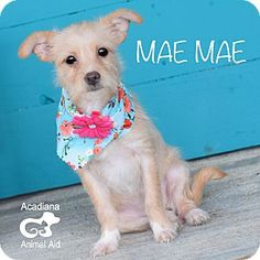 Glastonbury, CT - Terrier (Unknown Type, Small)/Chihuahua Mix. Meet Mae Mae, a puppy for adoption. http://www.adoptapet.com/pet/14801221-glastonbury-connecticut-terrier-unknown-type-small-mix