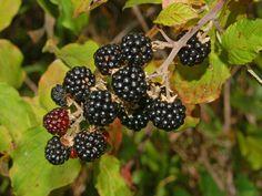 Der Brombeerstrauch scheint die Erde schützen zu wollen und beschenkt uns zugleich mit köstlichen Früchten und heilkräftigen Blättern.