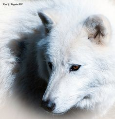 Artic Wolf...our first family dog was an  artic wolf/timber wolf...she looked just like this one!