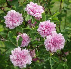 Rosa majalis 'Tornedal' Tornionlaaksonruusu