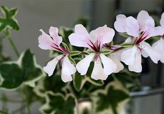 Pelargonium L'Elegante