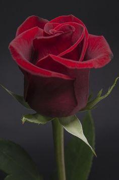 Minha rosa querida !
