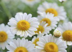 Camomilla: un fiore in cucina http://www.foodconfidential.it/camomilla-un-fiore-in-cucina/
