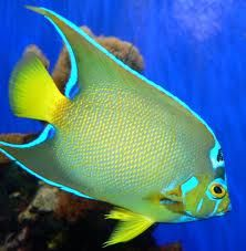 Queen angelfish :This species has been known to reproduce with the Blue Angelfish, making a half breed that looks like a mixture between the two species.