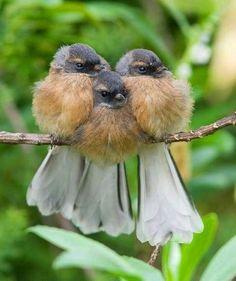 Three Birdies