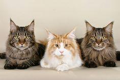 Maine Coon, a raça de gatos gigantes.