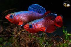Nothobranchius cardinalis