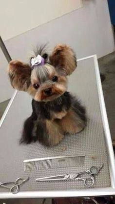 Comprehensive guide to the perfect Yorkie Haircuts for males and females. Get inspired from 100 + pictures of different short and long Yorkshire terrier hairstyles. Also see what are the most popular cuts for your pup. Cute Baby Animals, Animals And Pets, Funny Animals, Cute Puppies, Cute Dogs, Dogs And Puppies, Yorkies, Yorkie Hairstyles, Yorshire Terrier
