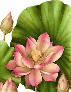 """""""Lotus"""" - Botannical Watercolor by Gilly Shaeffer"""