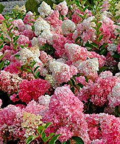 Vipphortensian 'Vanille Fraise' (Hydrangea paniculata) är en rikligt blommande #hortensia med stora gräddvita #blommor som blir rosa och kan till och med bli mörkröda på hösten. Även sedan de vissnat behåller blommorna sin färg över lång tid.