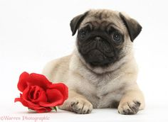 puppies pug   Pug puppy with a red rose .