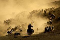 Resultado de imagem para herd