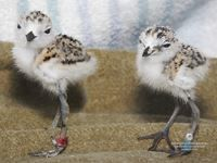 Free snowy plover wallpaper from the Monterey Bay Aquarium