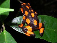 Rana Venenosa (Dendrobates Histriónicus) by Felipe Mesa, via Flickr Chinese Giant Salamander, Frosch Illustration, Frog Habitat, Frog Wallpaper, Pattern Wallpaper, Frog Rock, Pet Frogs, Amazing Frog, Poison Dart Frogs