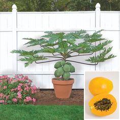 I love my pot grown papayas. If I had more space I would grow several varieties. Papaya 'TR Hovey' (Carica papaya)