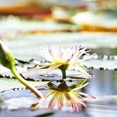 上から見ることが多い蓮の花。真横から眺めると、こんな美しさがあるんですね。