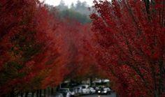 Vista de una calle de #San Sebastián, donde el tiempo gris contrasta con el rojo de las hojas de los árboles
