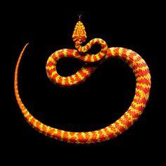 Orange & Yellow Snake~♛
