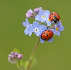 Ladybugs on a forget-me-not