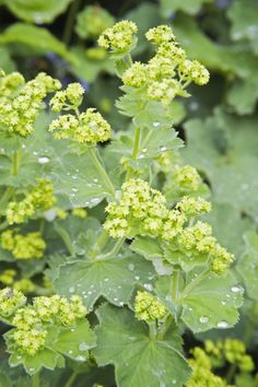 Lady's mantle/Alchemilla mollis H.6m x S0.75. Flowers June to Sept. Part shade.