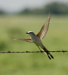 Scissor-tailed flycatcher Saw these in Oklahoma when I lived there