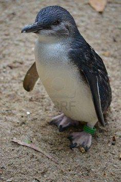 Fairy penguin
