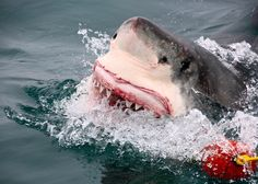 I took this shot while Shark Diving in False Bay with Marine Dynamics — with Brian Dingman in South Africa.