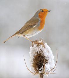 Robin ( Erithacus rubecula ) - Robin on snowy teasel down at the feeding station