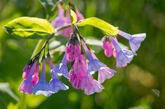 Plant of the Week: Virginia bluebells