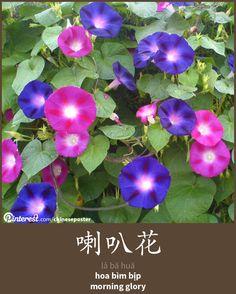 喇叭花 - lǎbāhuā - hoa bìm bịp - morning glory